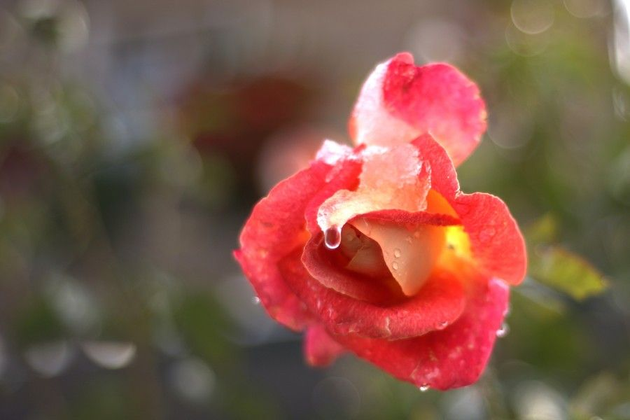 BIGODINO rosa