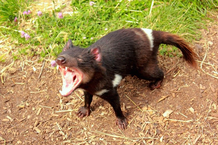 Scary, il diavoletto della Tasmania