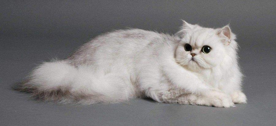 chincilla-cat