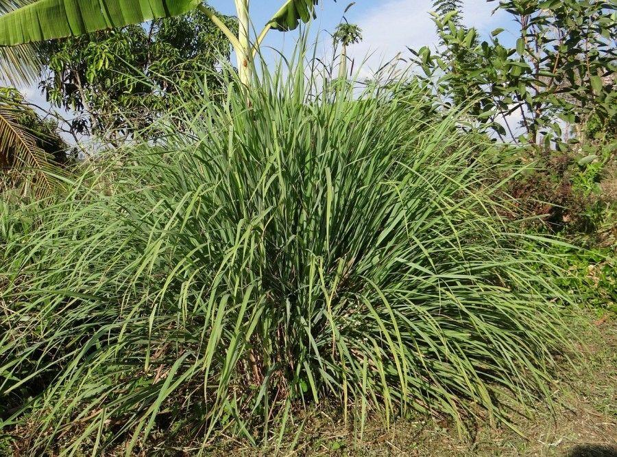 piante-contro-insetti-citronella