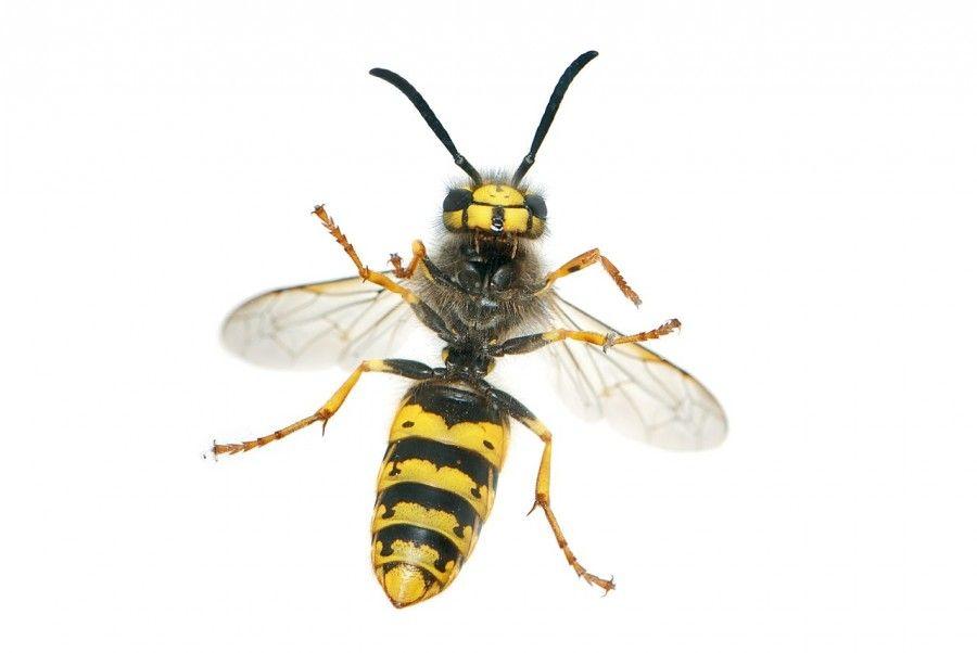 La bufala online delle vespe killer