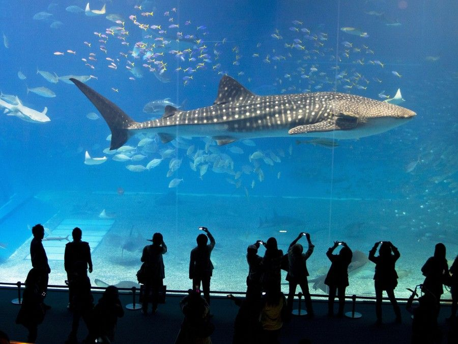 Whale shark in Okinawa Churaumi Aquarium with tourists in silhouette watching and photographing Japan