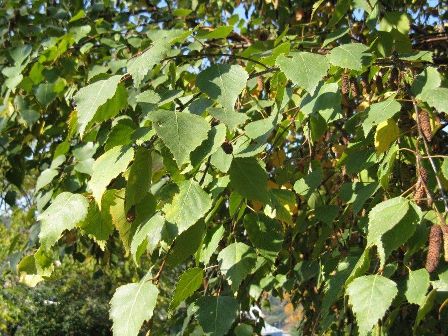betulla-foglie