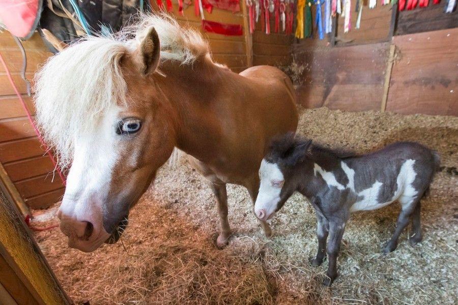 cavallo-piu-piccolo-microdave