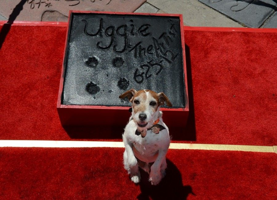 "Uggie, the dog who starred in the Academy Award-winning film ""The Artist,"" is honored with a hand and paw print ceremony outside Grauman's Chinese Theatre in Hollywood, California, June 25, 2012. The ceremony marked Uggie's retirement from acting.    AFP PHOTO/ROBYN BECK        (Photo credit should read ROBYN BECK/AFP/GettyImages)"