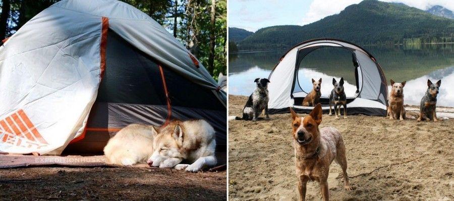 cani-in-campeggio-tenda