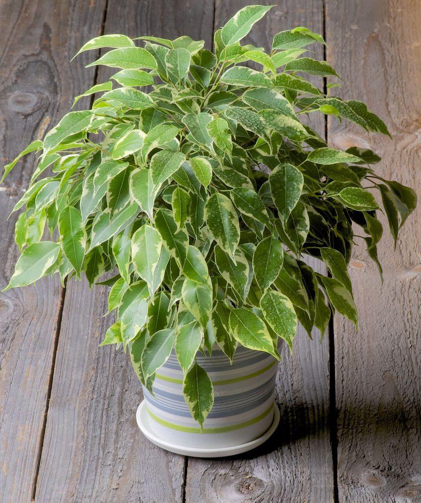 10 piante da tenere in casa per purificare l 39 aria bigodino for Piante sempreverdi da appartamento