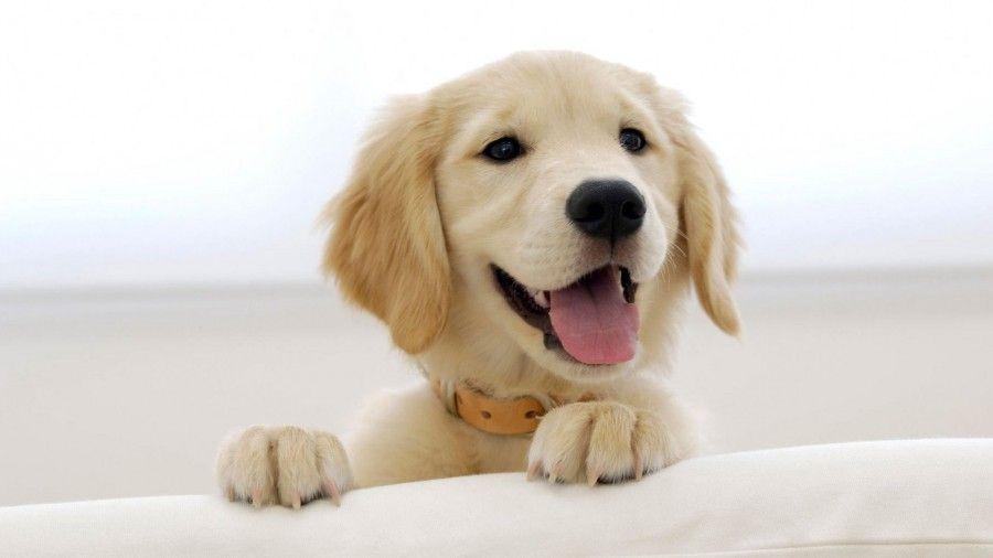 labrador_cucciolo