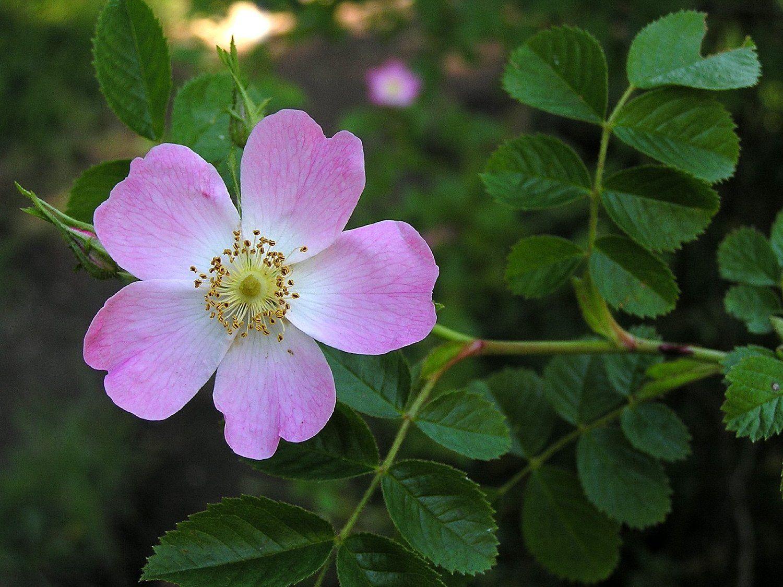 I benefici della Rosa Mosqueta