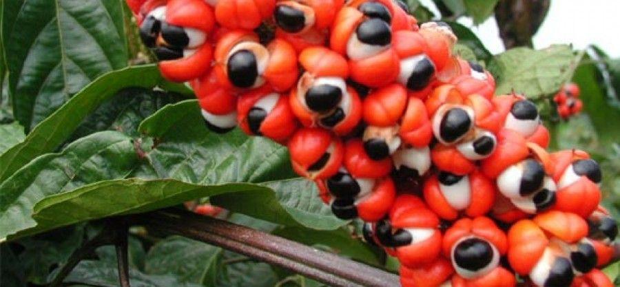 dimagrire-con-piante-guarana