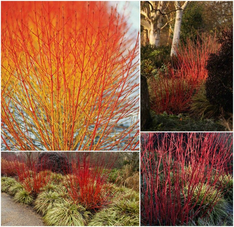 2 cornus sanguinea winter flame