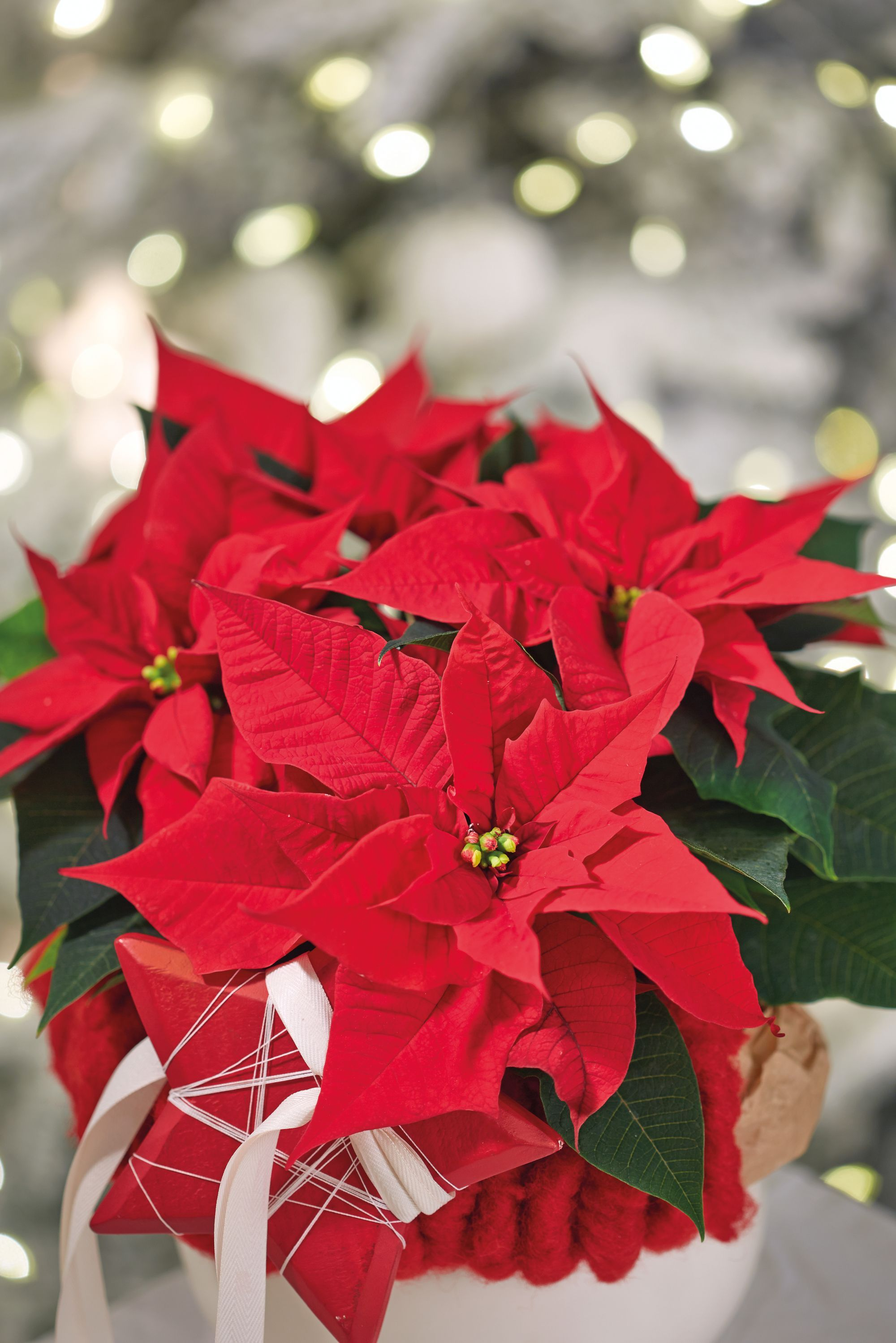 2015-poinsettia-close-up-bagliore-it