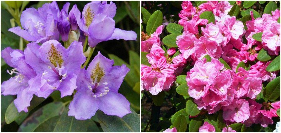 5 rododendri