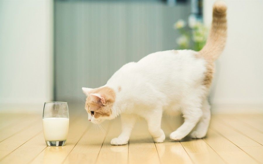 Cat-want-to-drink-milk_1680x1050