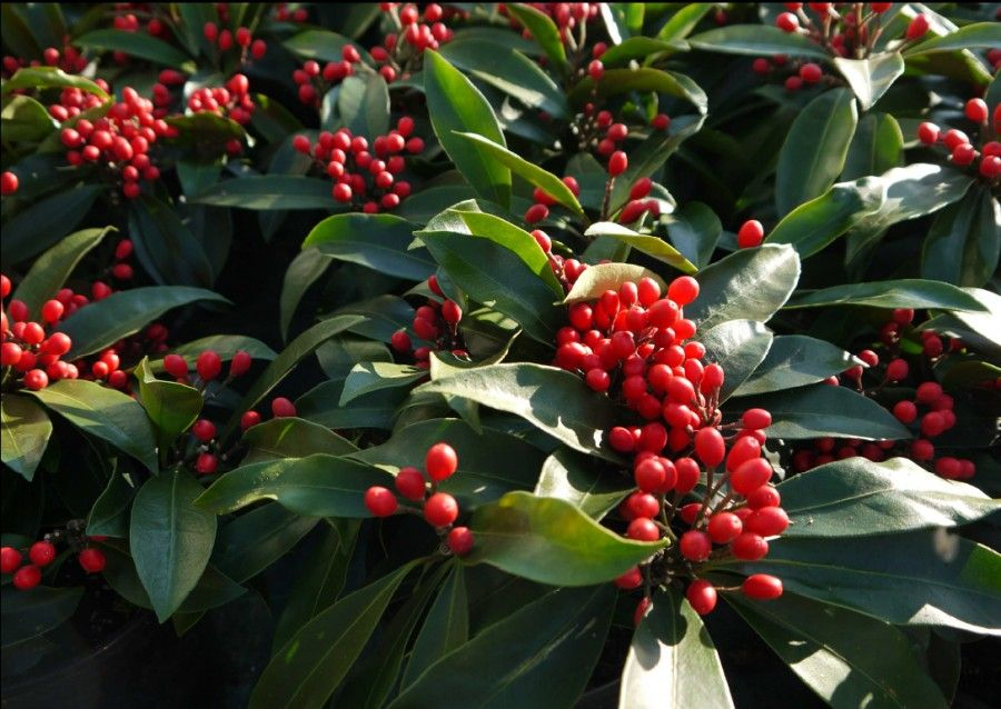 Bacche rosse per le decorazioni natalizie  Bigodino