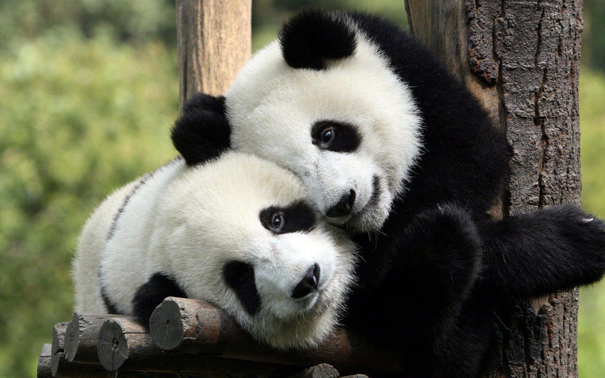 Vestirsi da panda per coccolare gli animali: il lavoro più bello del mondo