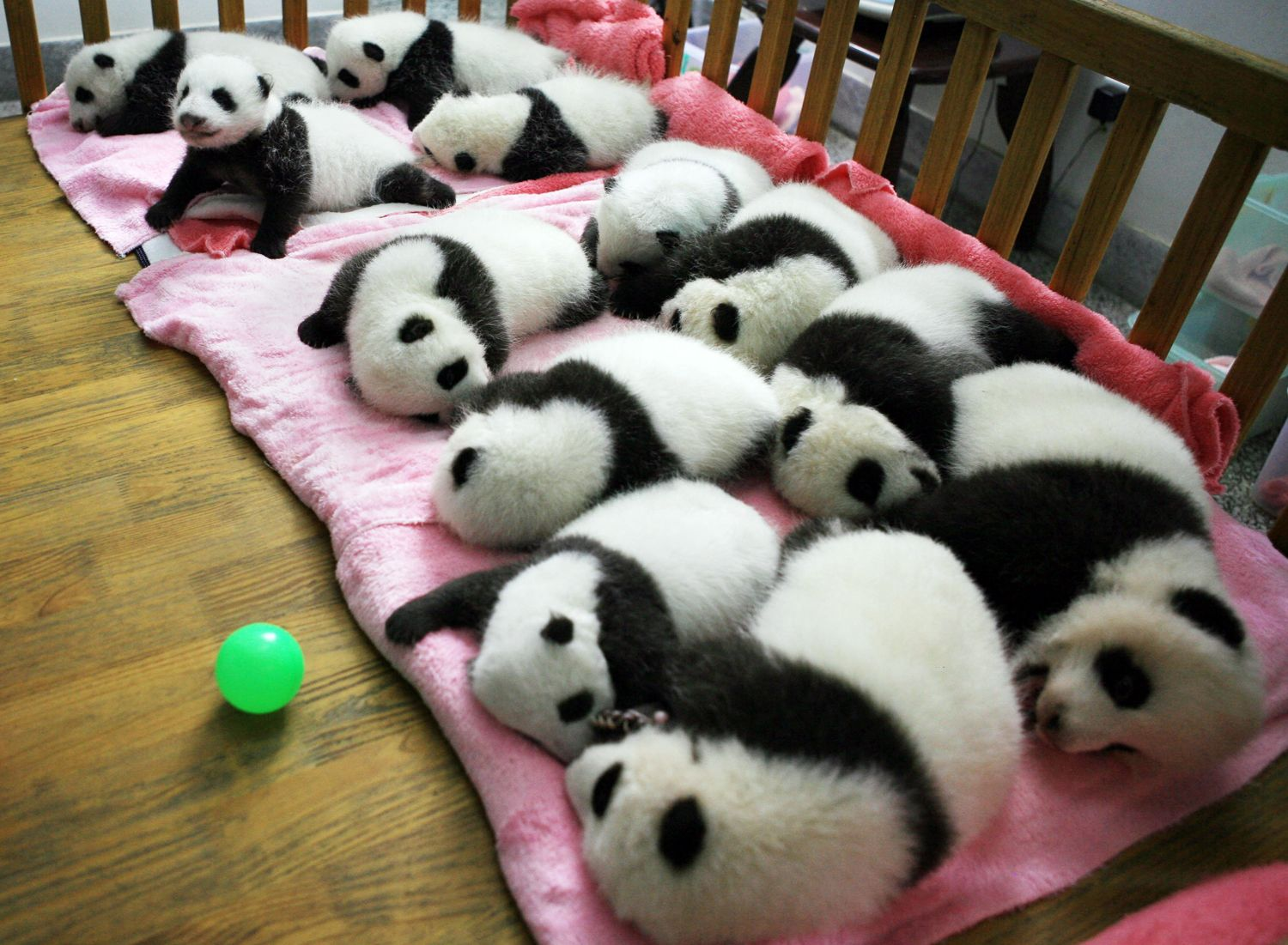 A group of giant panda cubs nap at a nursery in the research base of the Giant Panda Breeding Centre in Chengdu, in southwest China's Sichuan province on Sept. 26. China has launched its once-a-decade panda census, trying to determine how many of the endangered animals live in the wild amid efforts to boost numbers. The census -- the fourth since it was first launched in the 1970s -- is also expected to ascertain pandas' living conditions, ages and any change in habitat.
