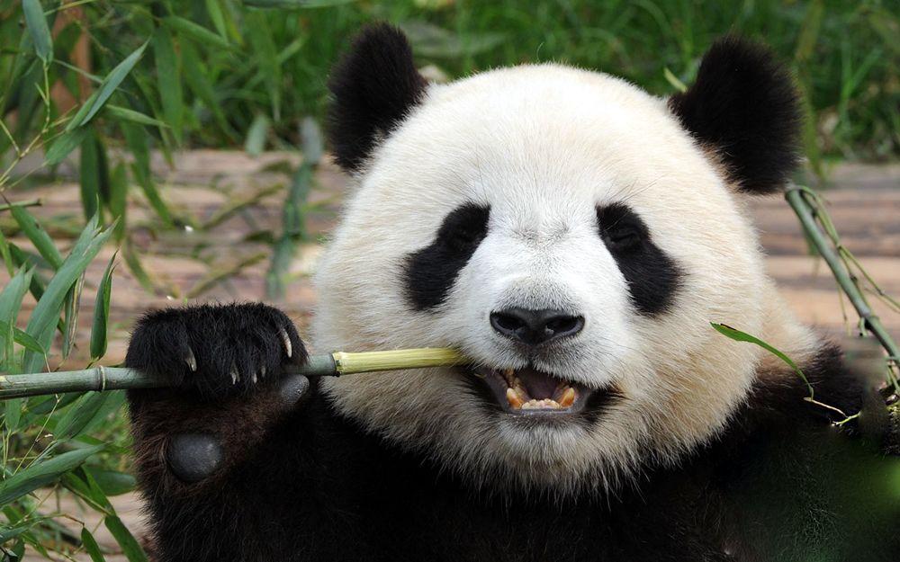 panda-Chengdu2