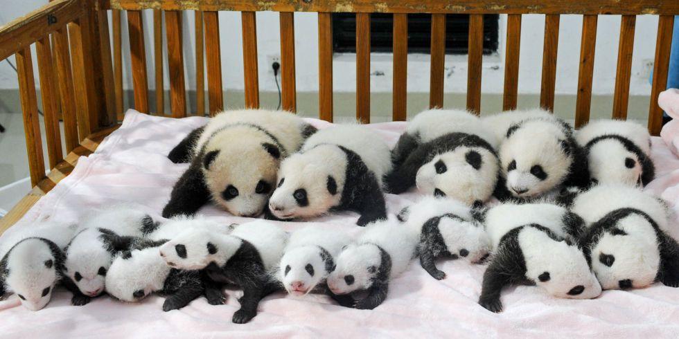 panda-Chengdu6