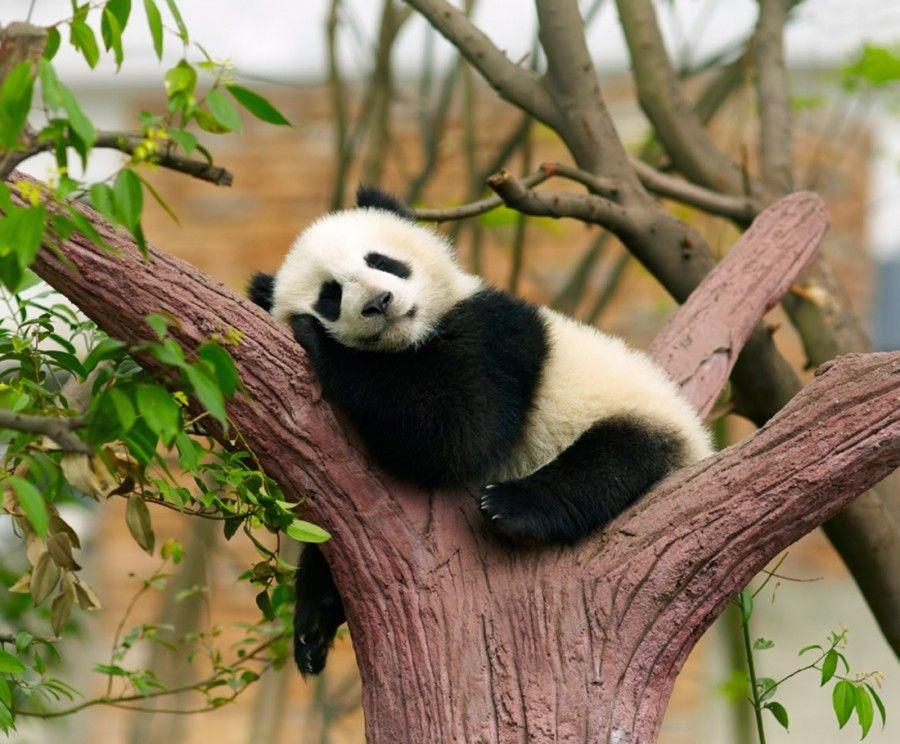 i panda non fanno niente tutto il giorno, e tutti li reputano carini...