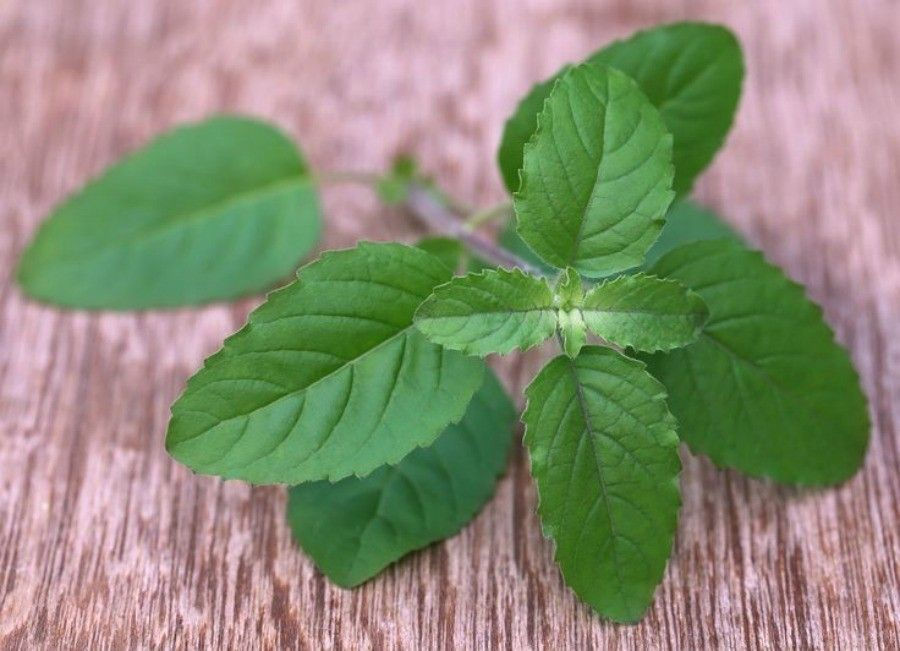 Medicinal red tulsi leaves on wooden surface