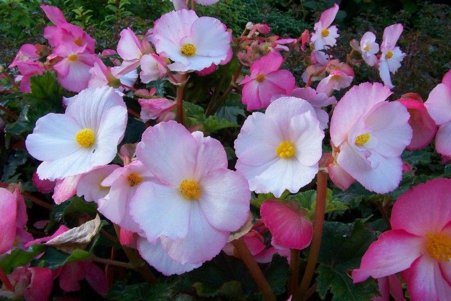 begonia-189474_1280