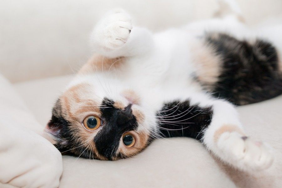 gatto cat