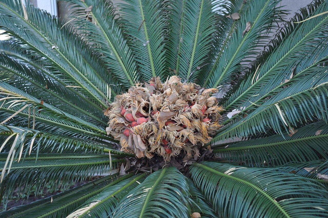 Sago Palm2