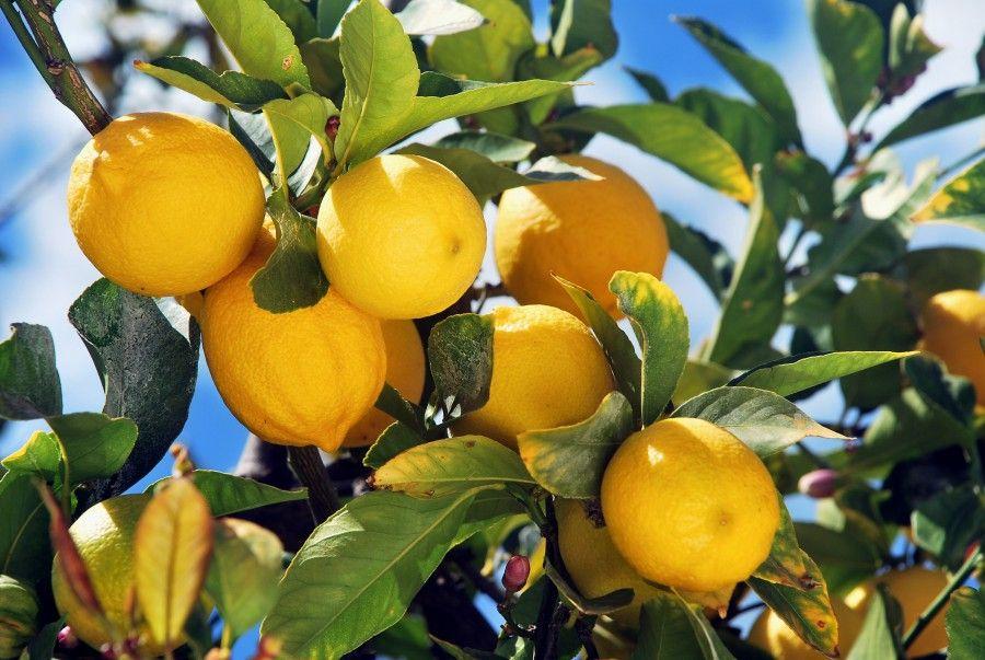 10 trucchi per coltivare una pianta di limoni in un vaso for Coltivare limoni