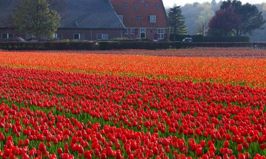tulips-21639_1280