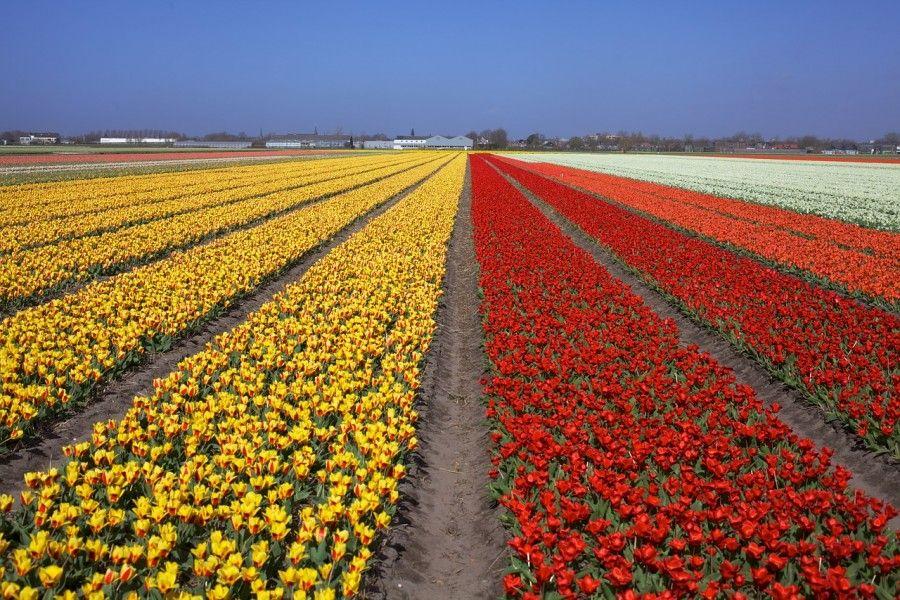 tulips-530054_1280