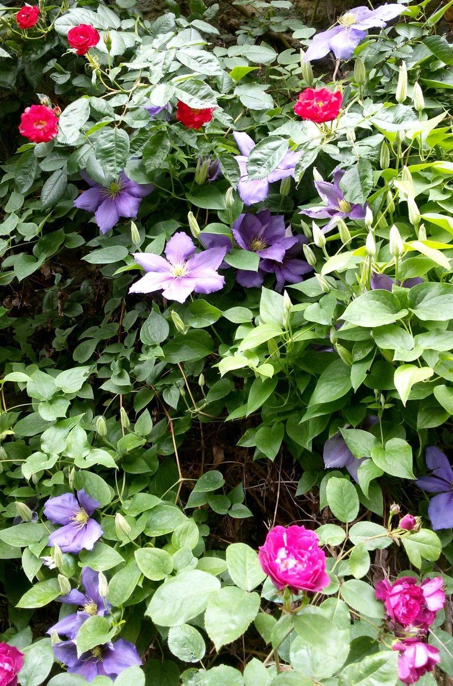Rampicanti Che Crescono All Ombra scopri qual è la rosa più adatta al tuo giardino | bigodino