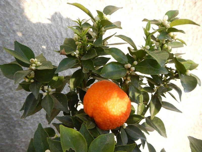 chinotto-pianta