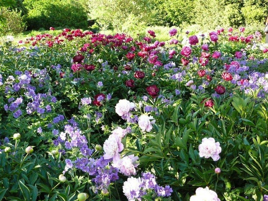 Scopri le peonie in un giardino incantato bigodino for Peonie periodo
