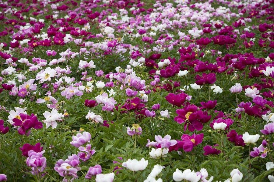 peony-flowers-1138053_1280