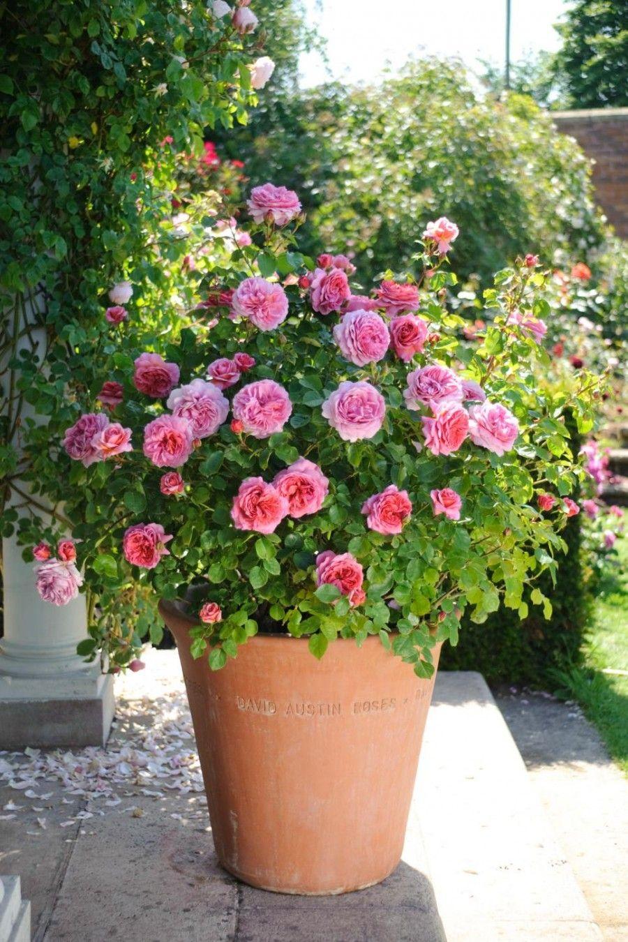 Rose Da Taglio Rifiorenti scopri qual è la rosa più adatta al tuo giardino | bigodino