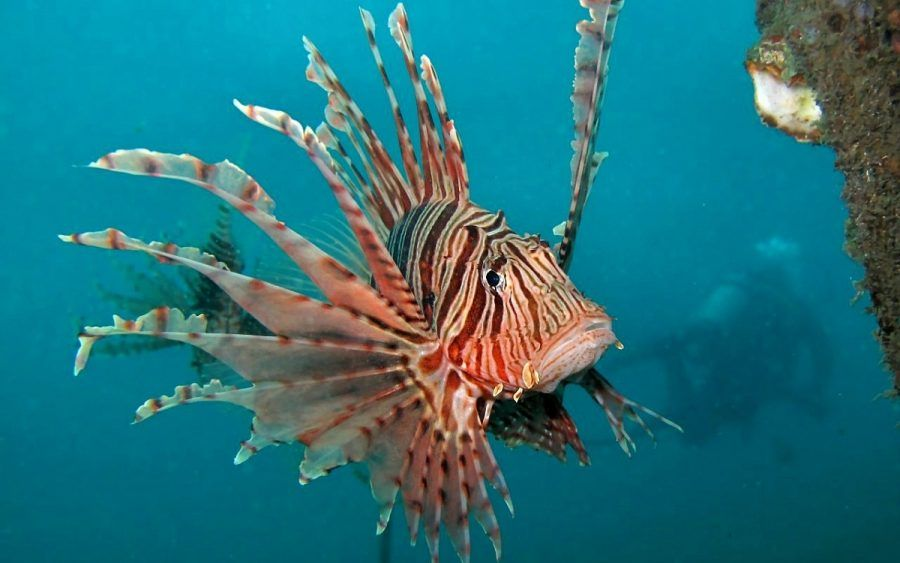Pesce leone2