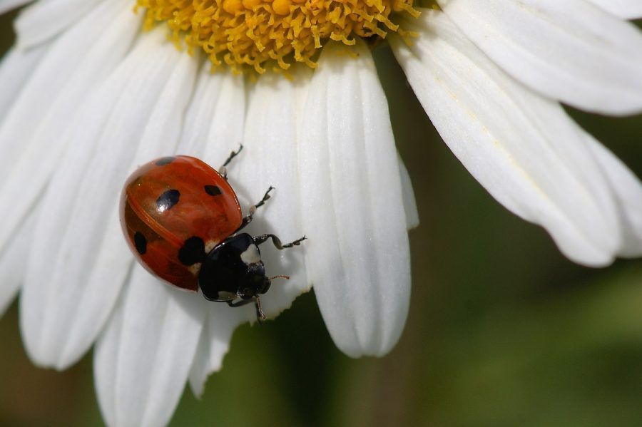 ladybug-1399428_1280
