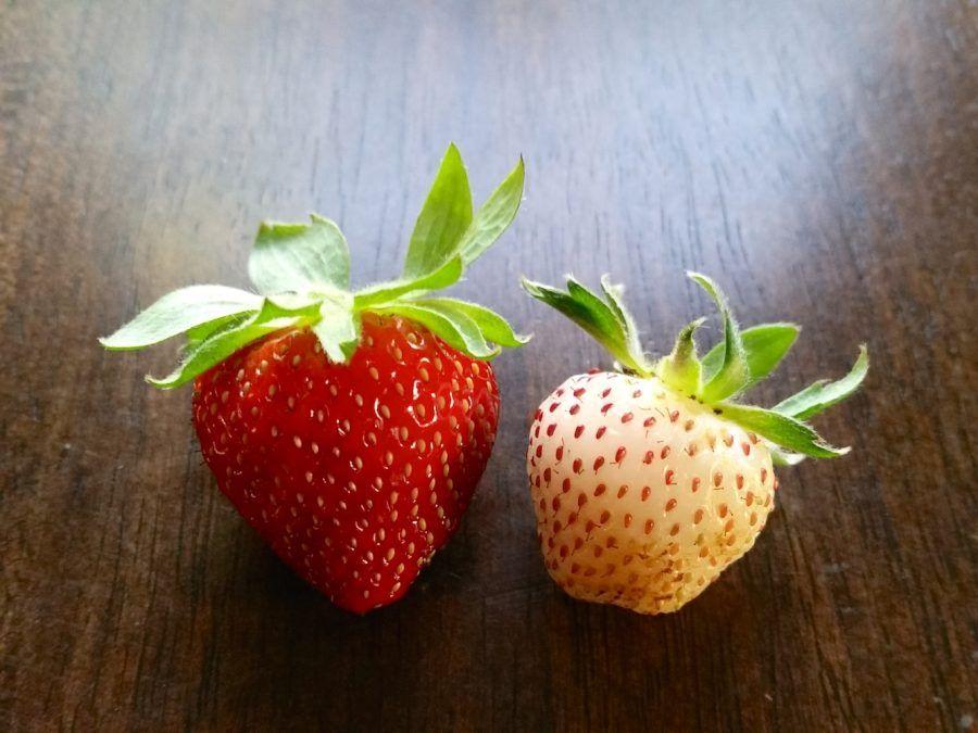 Come nasce la pianta di pineberry le fragole bianche al for Pianta fragole