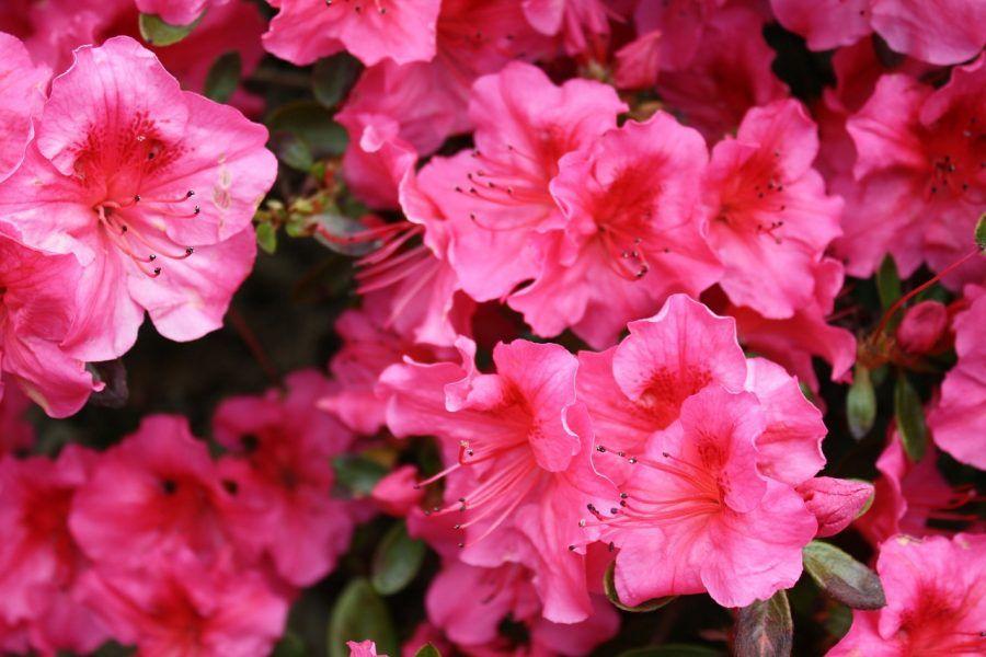 rhododenron-217367_1280