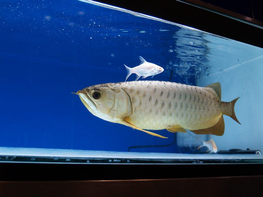 Pesce drago, fonte gas-online.org