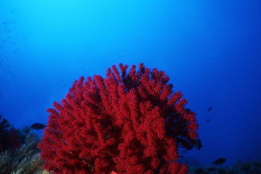 alga rossa