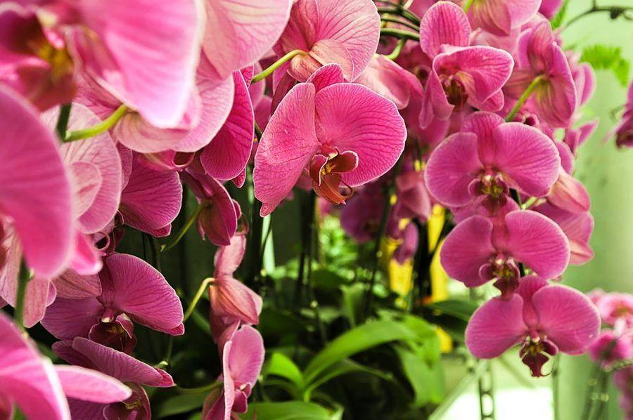 phalaenopsis-765359_1280