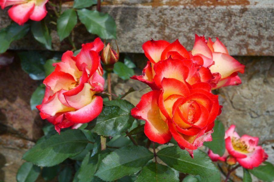 Splendide rose...