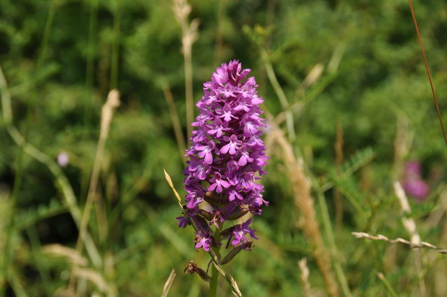 wild-orchid-972536_1280