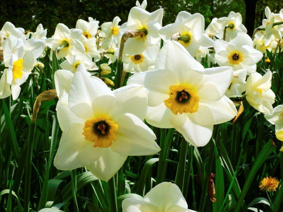 narcissus-1355469_1280
