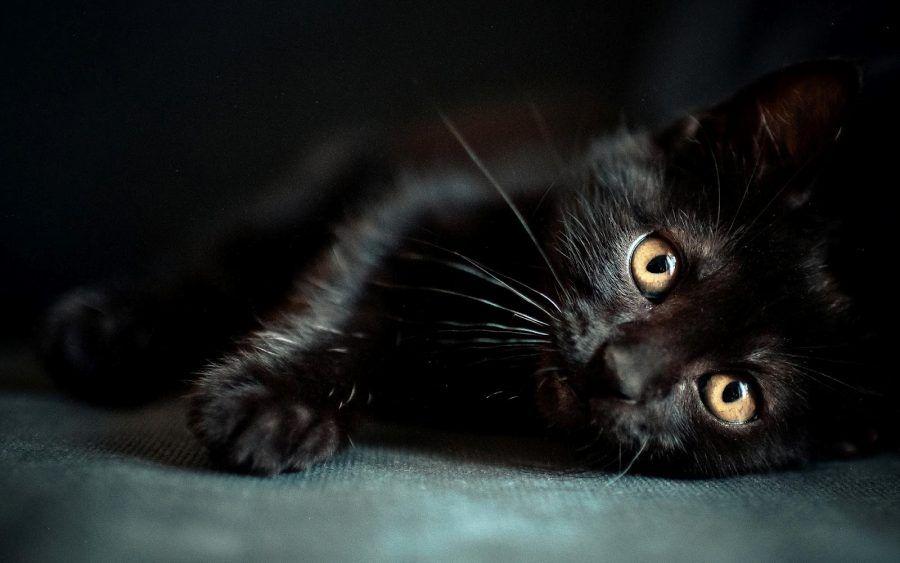 massiccia nero micio