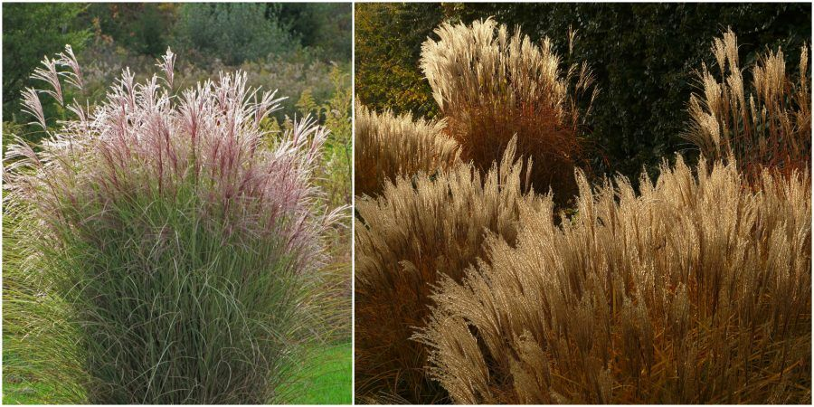 Miscanthus_sinensis_Morning_Light