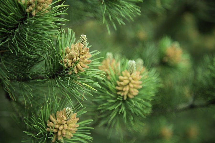 Gli aghi di pino sono ricchi di proprietà benefiche
