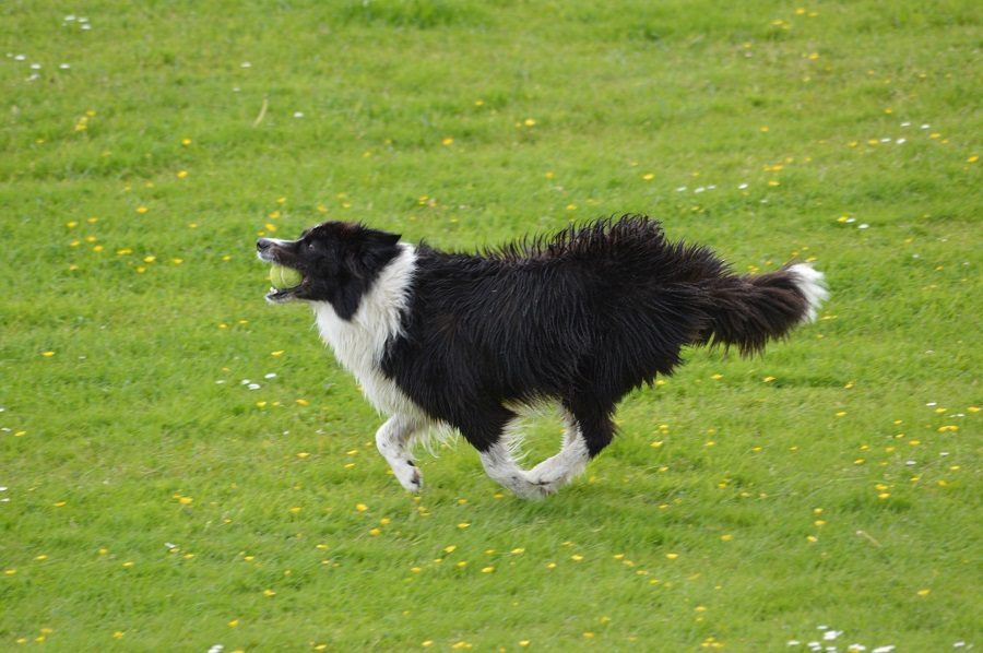 Valutate tutto l'atteggiamento del cane, non solo quello della coda